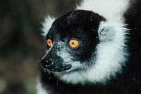Black-and-white Ruffed Lemur (Varecia variegata), adult, Madagascar, Africa