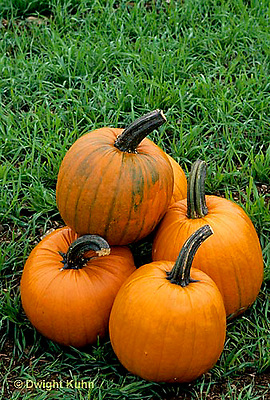 HS24-119a  Pumpkin - harvested - Tom Fox variety