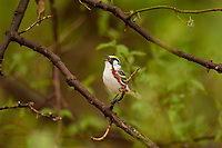 Male Chestnut-sided Warbler (Setophaga pensylvanica).<br /> Singing spring mating/territorial song.  Great Lakes Region.  May.