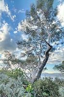 Domaine du Rayol en novembre : à la pointe du Figuier, pin d'Alep et barbe de Jupiter (Anthyllis barba-jovis) au feuillage gris