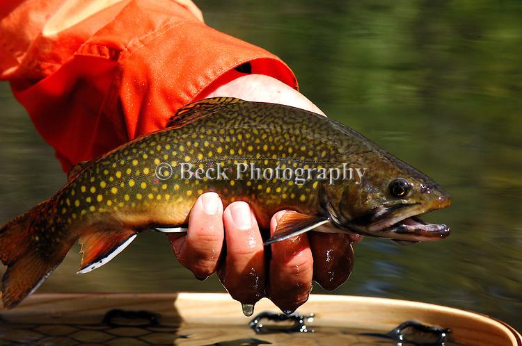 wild brook trout