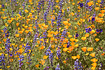 Escondido, California; a detail view of a field of orange California Poppies and purple lupine flowers on a hillside on a sunny afternoon