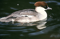 female Smew in breeding plumage