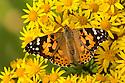 Painted Lady Butterfly {Vanessa cardu} feeding on Common Ragwort {Senecio jacobaea}. Peak District National Park, Derbyshire, UK. August.