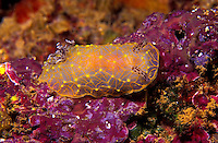 The Goldlace Nudibranch ( Halgerda terramtuentis) is one of the coral reefs more interesting subjects.