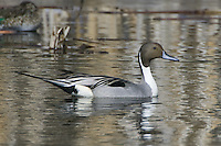 Northern Pintail swimming on a pond