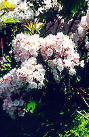 FLOWERS<br /> Mountain Laurel<br /> Kalmia latifolia, Haverstraw, NY
