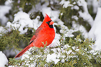 01530-21613 Northern Cardinal (Cardinalis cardinalis) male in Juniper tree (Juniperus keteleeri) in winter Marion Co. IL