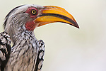 Yellow-billed hornbill (Tockus leucomelas), Botswana, Okavango Delta, Moremi Game Reserve