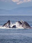 USA, Alaska , Glacier Bay National Park , humpback whale (Megaptera novaeangliae)