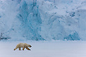 Norway, Svalbard, male polar bear crossing frozen fjord in front of glacier