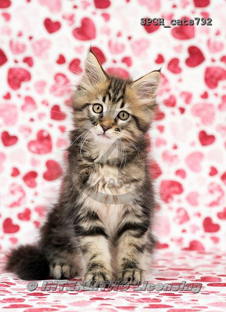 Xavier, ANIMALS, REALISTISCHE TIERE, ANIMALES REALISTICOS, cats, photos+++++,SPCHCATS792,#a#