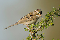 Clay-colored Sparrow, Spizella pallida, adult, Uvalde County, Hill Country, Texas, USA, April 2006