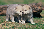 Two gray wolf pups (Canis lupus) play in a controlled environment at the Prairie Wind Wildlife Refuge, east of Castlerock, Colorado.