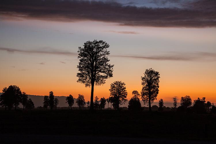 Kahikatea tree silhouettes at sunset, near Fox Glacier, South Westland New Zealand.