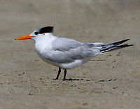 Royal tern in nonbreeding plumage