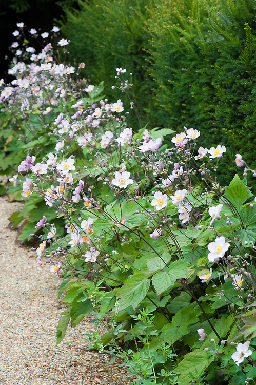 Japanese anemones and yew hedge, late July.
