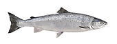 Atlantic Salmon - Salmo salar