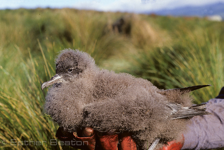Muttonbird chick (Short-tailed Shearwater) being held in catcher's gloved hand. Great Dog Island, Tasmania.