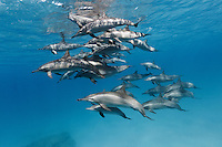 RZ0678-D. Spinner Dolphins (Stenella longirostris), very gregarious species often found in large groups. Hundreds of thousands were killed in past decades in purse seine nets used by the commercial tuna fishing fleet in the eastern tropical Pacific Ocean. Egypt, Red Sea.<br /> Photo Copyright &copy; Brandon Cole. All rights reserved worldwide.  www.brandoncole.com