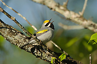 Adult male Golden-winged Warbler (Vermivora chrysoptera) in breeding plumage singing. St. Lawrence County, New York. May