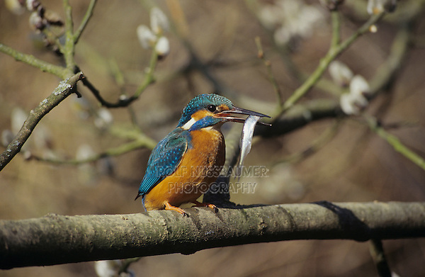 Common Kingfisher, Alcedo atthis, male with fish on blooming Willow, Zug, Switzerland, Europe