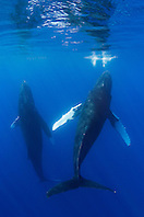 A pair of Humpback Whales, Megaptera novaeangliae, spyhopping, Hawaii, Pacific Ocean