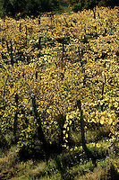 Palazzone vineyards situated in the undulating hills near Orvieto, Umbria, Italy