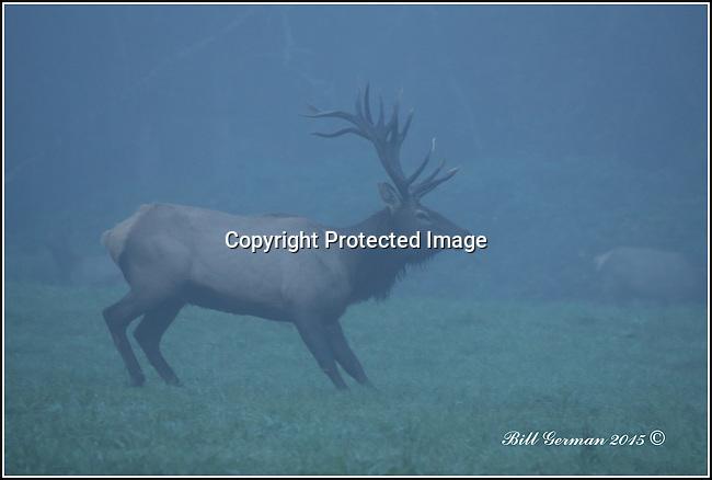Bull elk in the early fog near Snoqualmie, Wa.