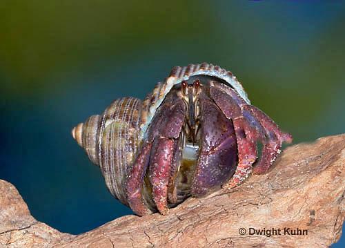 1Y30-524z   Land Hermit Crab, Purple Pincher climbing, Carribean Hermit [Soldier Crab], Coenobita clypeatus