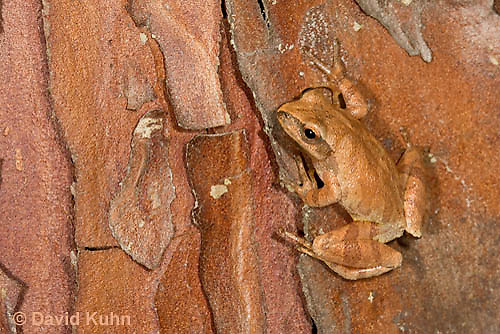 0820-0902  Spring Peeper Frog Climbing on Red and Orange Bark on Tree Trunk, Pseudacris crucifer (formerly: Hyla crucifer) © David Kuhn/Dwight Kuhn Photography