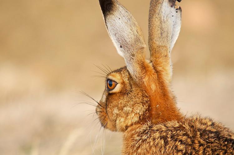 Hare (Lepus Europaeus) in the early morning light, farmland,Bedfordshire,UK,June.