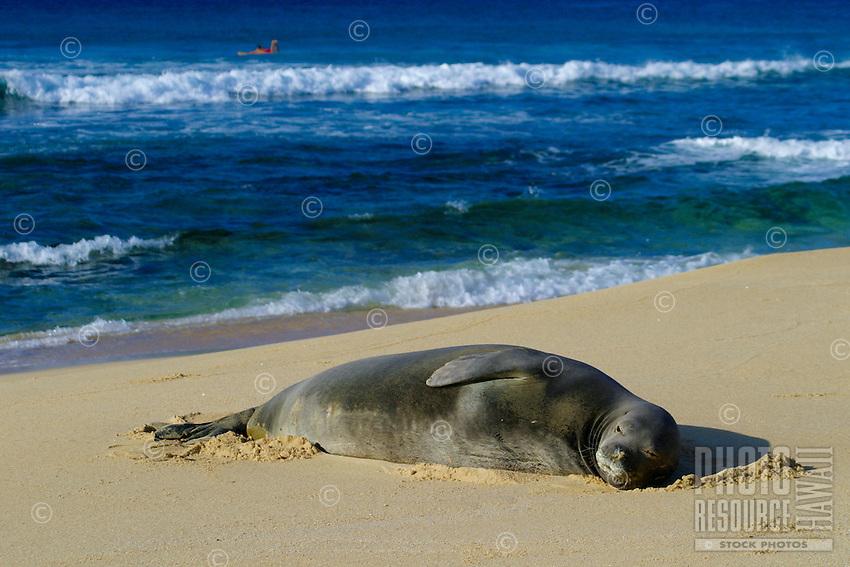An endangered Hawaiian Monk Seal rests on   Sandy Beach along Oahu's east coast. Scientific name (Monachus schauinslandi)