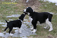 SH25-656z English Springer Spaniels puppy and adult playing