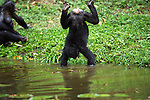 Bonobo female standing on her hands in water (Pan paniscus), Lola Ya Bonobo Sanctuary, Democratic Republic of Congo.
