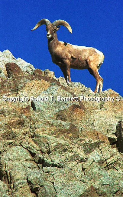 Bighorn sheep on side of cliff, Bighorn sheep, ovis canadensis, sheep, Bering land bridge, Native Americans, Dall Sheep, Animal, Sierra Nevada Bighorn sheep, Peninsular Bighorn Sheep, Animal, wild animals, domestic animals,  Fine Art Photography, Ronald T. Bennett (c), Big horn sheep, Fine Art Photography by Ron Bennett, Fine Art, Fine Art photography, Art Photography, Copyright RonBennettPhotography.com ©