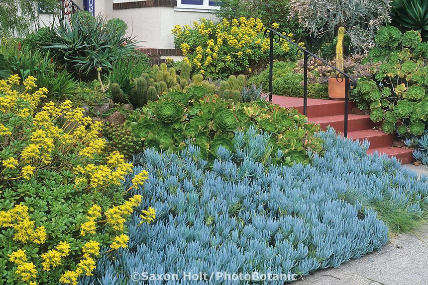 Senecio mandraliscae, Sedum dendroideum, Aeonium and Cactus succulents in front yard garden