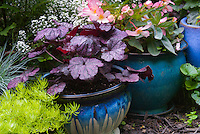 Container gardens pots, Festuca, blue pots, Alyssum Lobularia purple Heuchera Grape Expectations , yellow Sedum Begonia  in flower