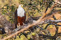africa, Zambia, South Luangwa National Park,  African fish eagle