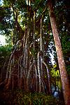 Stilt roots of rainforest trees, Rio Maranon, Peru