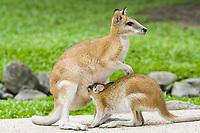 agile wallaby, or sandy wallaby, Macropus agilis, joey suckling from mother, Australia, Oceania