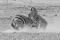 Burchell's Zebras fighting in the dust at Etosha, Namibia