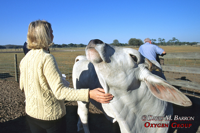 Ros Rootes Observing & Rubbing Cow