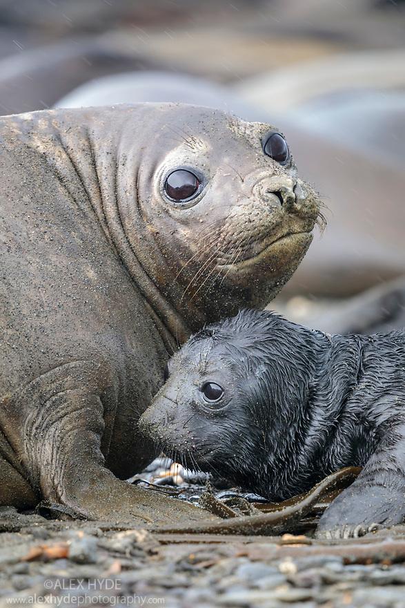 Southern Elephant Seals (Mirounga leonina) pup with mother. King Haakon Bay, South Georgia. November.