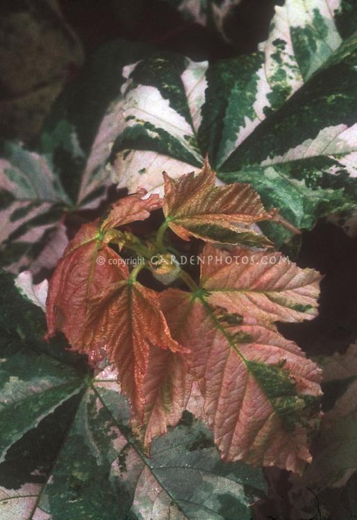 Acer pseudoplatanus 'Eskimo Sunset' maple tree variegated foliage leaves