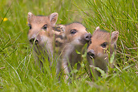 Germany, DEU, Arnsberg, 2005-Jun-11: Three  young wild boars (sus scrofa), on a green meadow in the Wildwald Vosswinkel preserve.