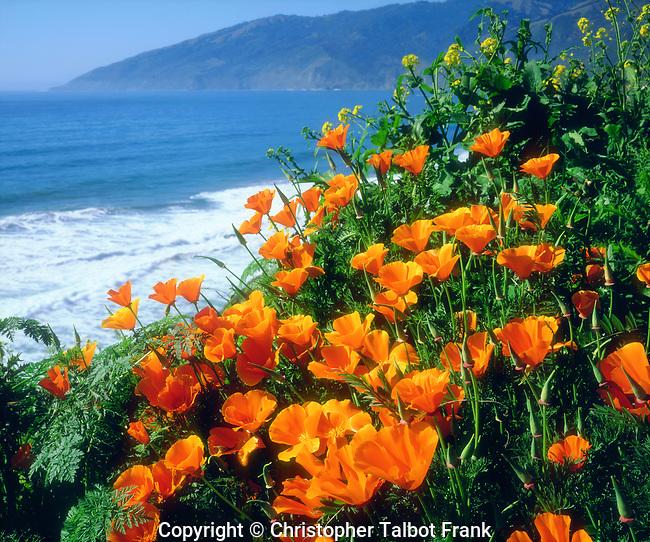USA; California; California Poppies along the Pacific Coast near Big Sur