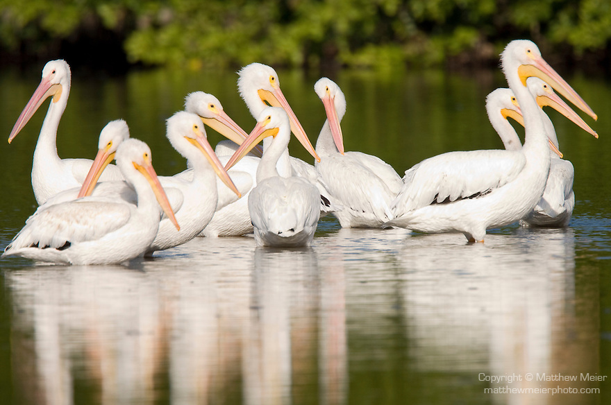 Ding Darling National Wildlife Refuge, Sanibel Island, Florida; several American White Pelican (Pelecanus erythrorhynchos) birds in the shallow water of the refuge © Matthew Meier Photography, matthewmeierphoto.com All Rights Reserved