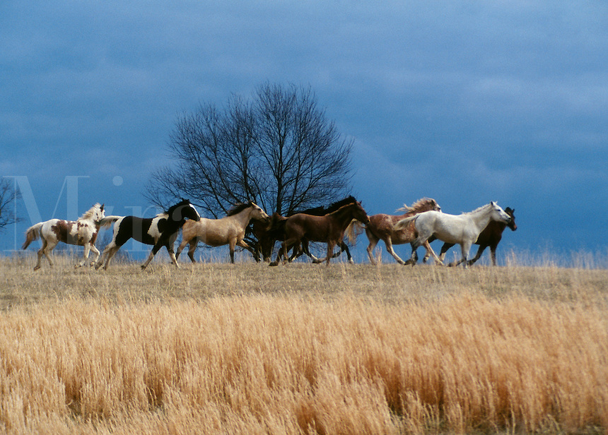 A herd of Bashkir Curly Horses gallop across hilltop....
