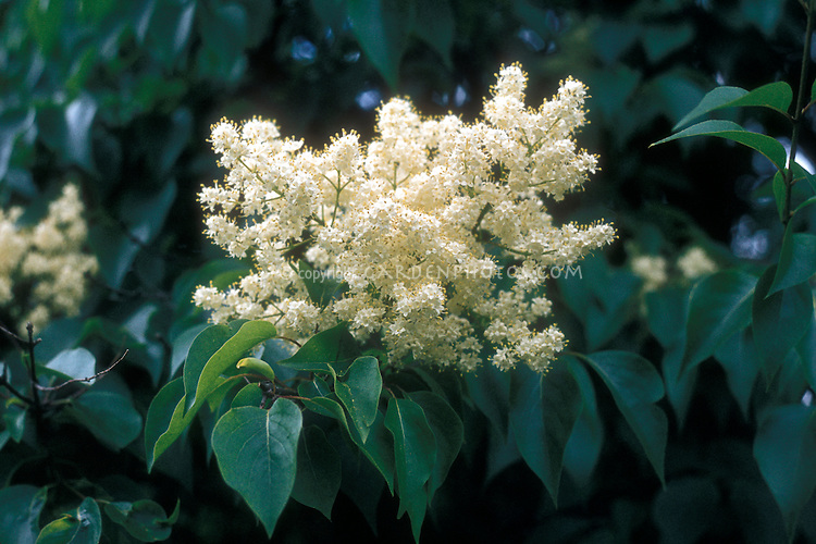 Syringa reticulata ssp. pekinensis, lilac species with white flowers, Japanese Lilac Shrub Bush Tree